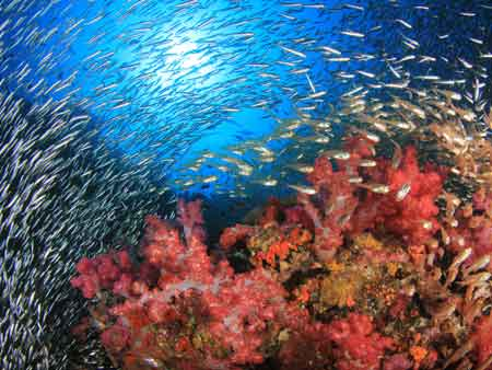 ソフトコーラルと魚の群れ