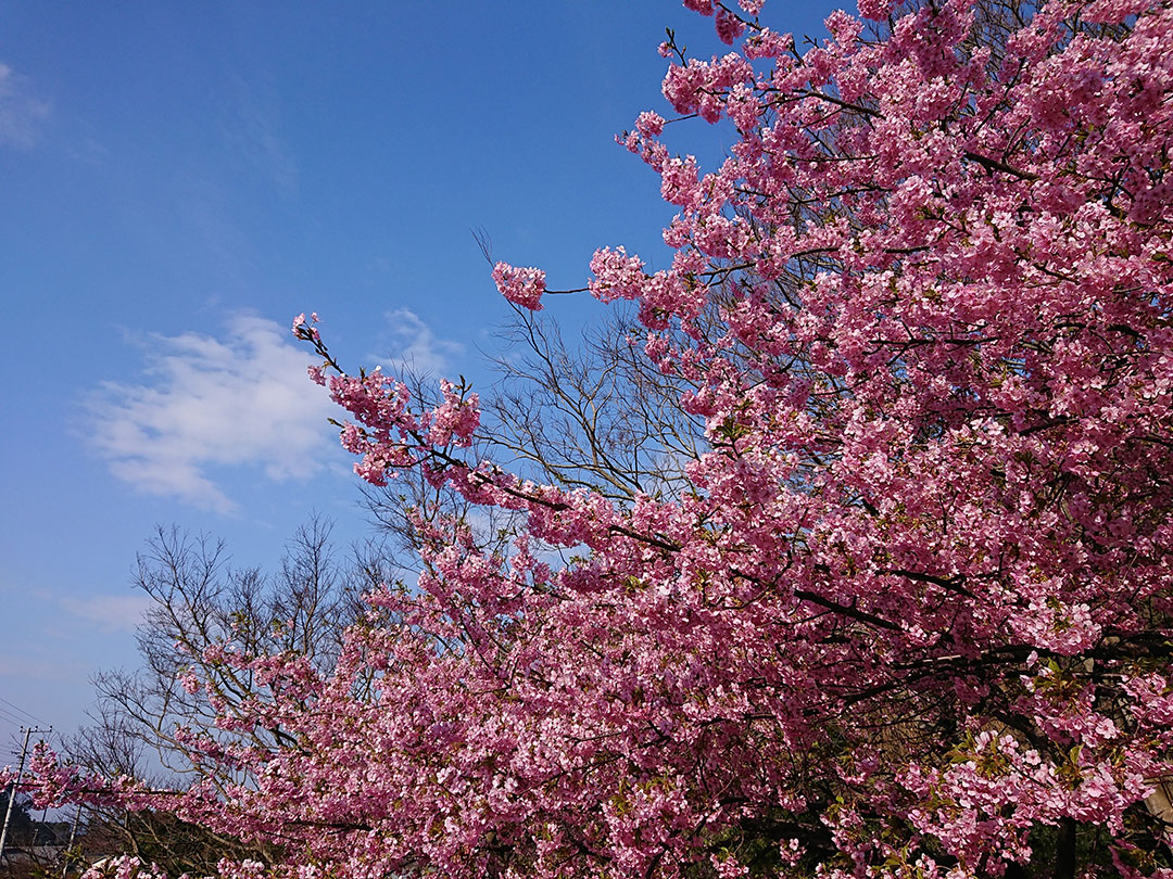 西伊豆の河津桜