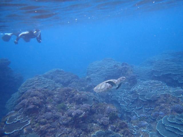 八丈島のウミガメ