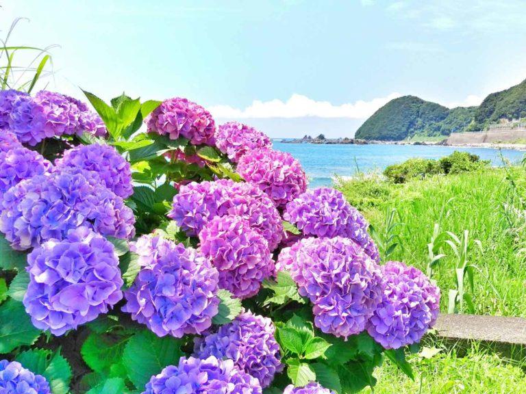アジサイと海
